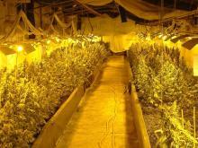Illegale Cannabis-Pflanzen
