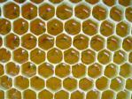 EFSA: akutes Risiko für Honigbienen durch Fipronil